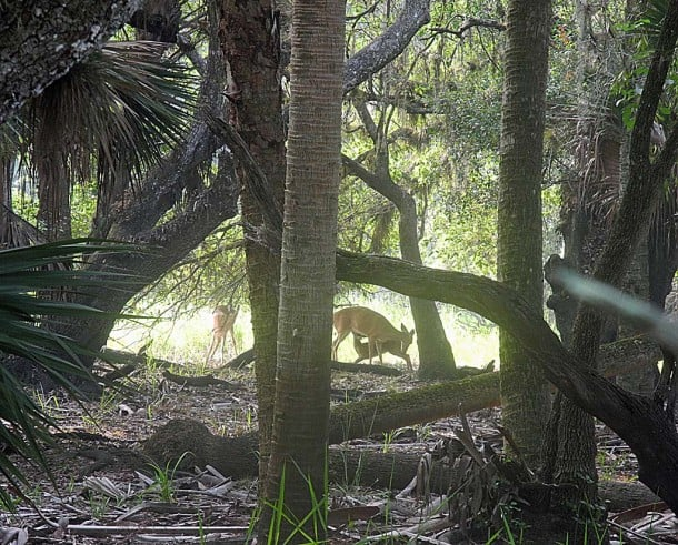 Deer nursing her young at Myakka River State Park