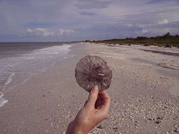 Sanddollar found on Barefoot Beach in Bonita Beach.