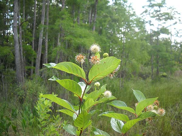 Wildflowers along boardwalk at Corkscrew Swamp Sanctuary, Naples, Florida