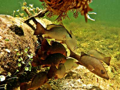 Snorkeling in Florida: A school of snapper take shelter under a cannon at Cannon Beach at Pennekamp State Park.