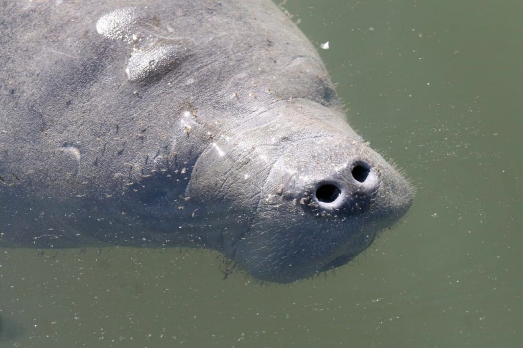 Florida Keys wildlife: Manatees are present throughout the year. (Photo: Bonnie Gross)