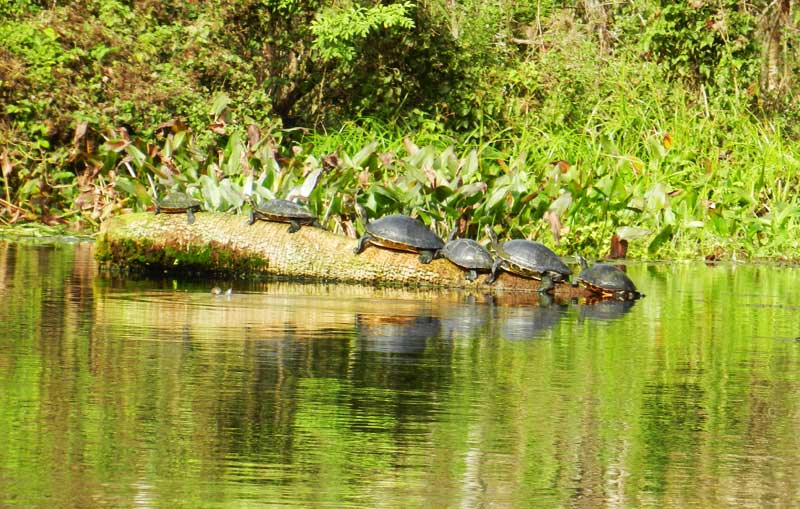 Six turtles at Silver Springs River, which offers some of the best kayaking in Florida
