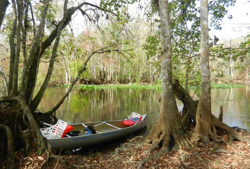 Our picnic site amid cypress trees and knees on the Ocklawaha River. (Photo: Bonnie Gross)