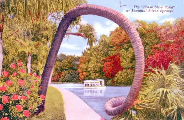 This horseshoe palm pictured in this 1940s postcard of Silver Springs is still there!