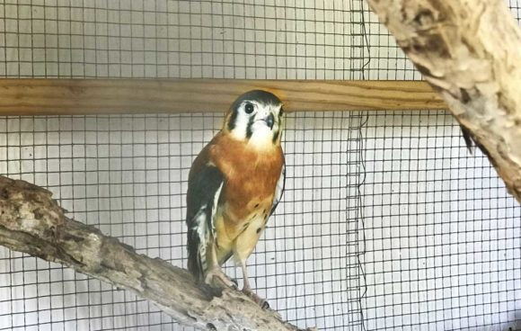 Free things to do in Key West: An injured American kestrel is one of the birds at the Key West Wildllife Center