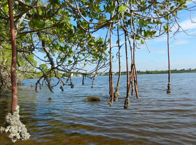 Mangrove roots in 10,000 Islands