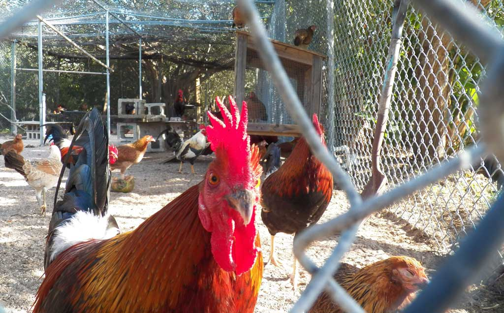 The Key West Wildlife Center rescues and rehabilitates birds, and serves as a temporary home to nuisance chickens and roosters that roam the city. It's a free, fun stop for families