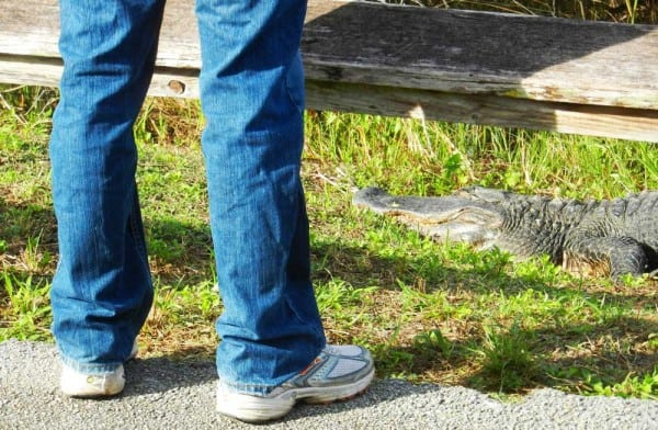 On the Anhinga Trail, only a guard rail separates visitors from alligators. They appear oblivious, but it is still wise to give them space.