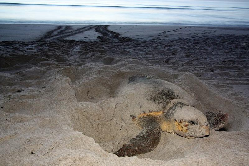 turtle nesting fwc On a sea-turtle walk in Juno Beach, turtle traffic was plentiful