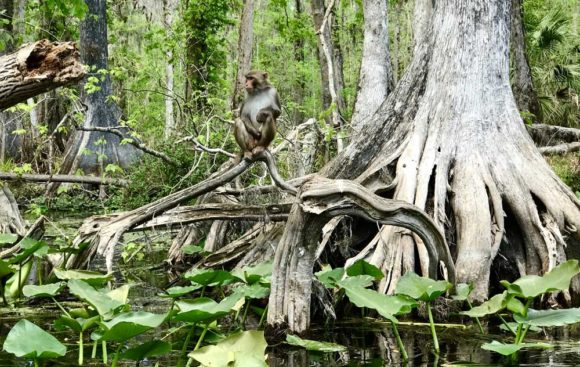 Rhesus monkey at Silver Springs State Park in Ocala are a highlight of Ocala kayaking. (Photo: Bonnie Gross)