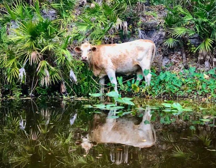 Cow In Shell Creek, Punta Gorda