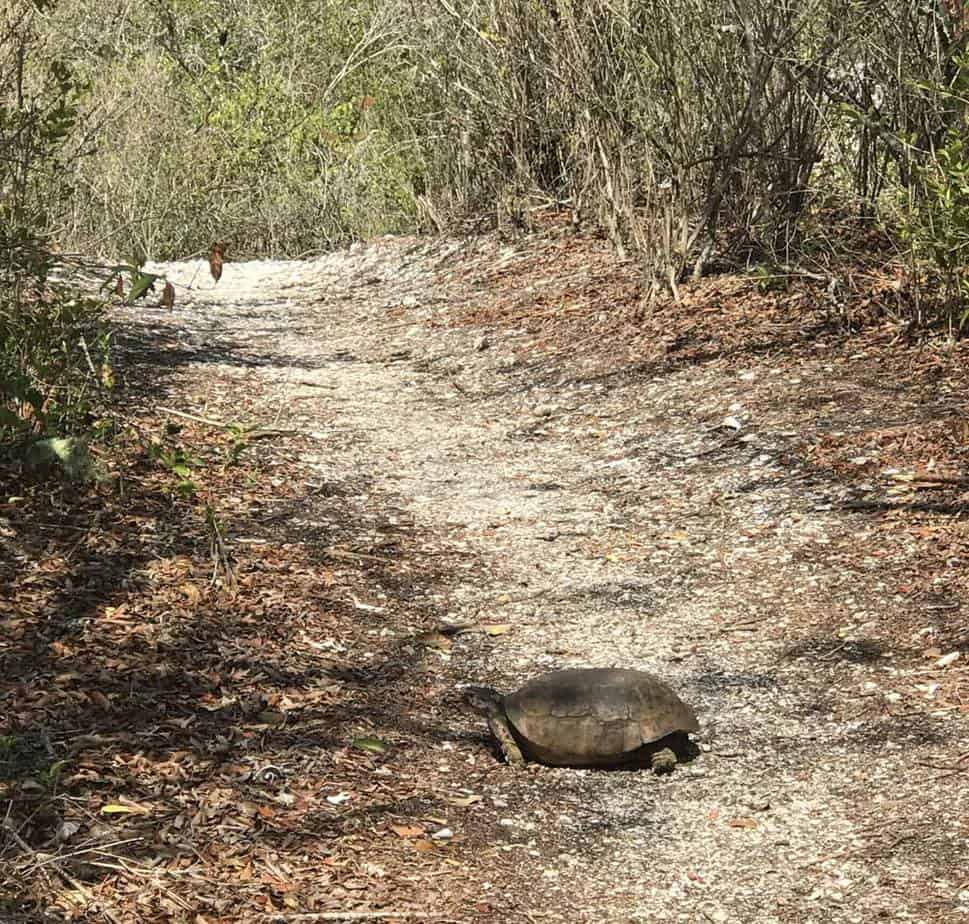 Gopher tortoise on trail at Mound Key State Park.