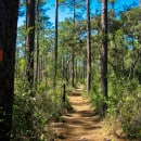 ocala natioal forest pine trees 9 things to do near Daytona Beach