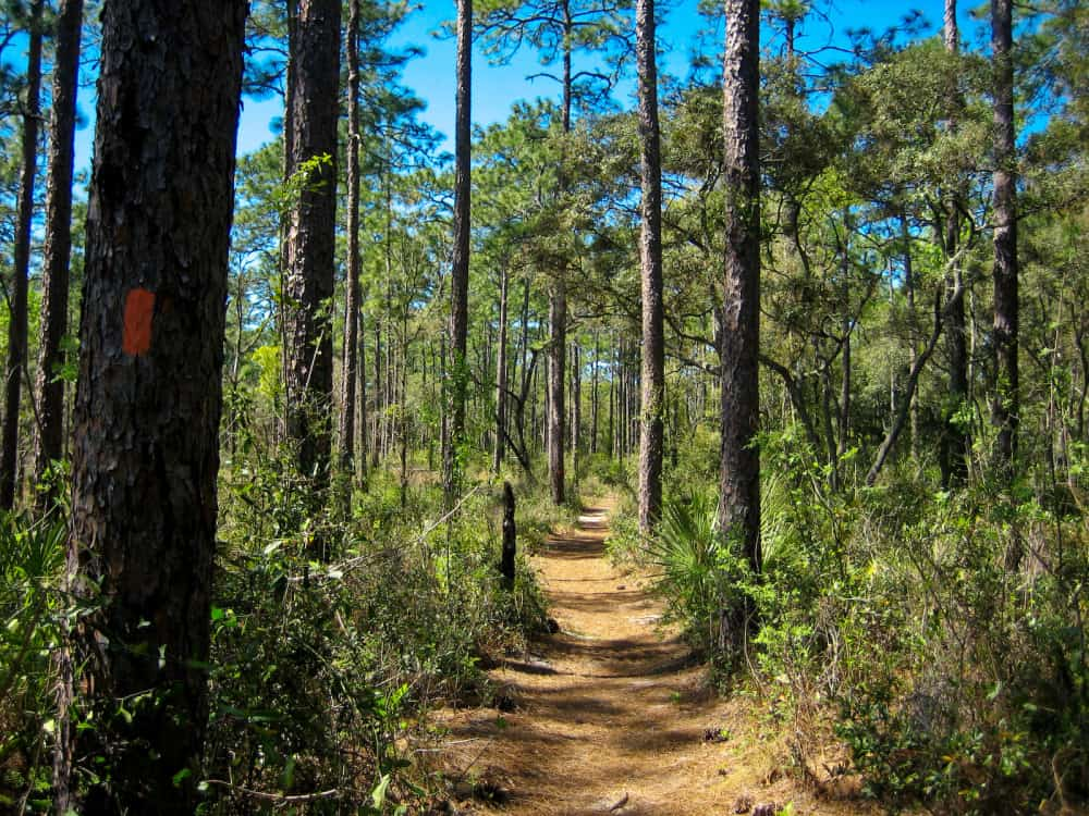 ocala natioal forest pine trees e1448722557668 6 Things to Do in Ocala National Forest