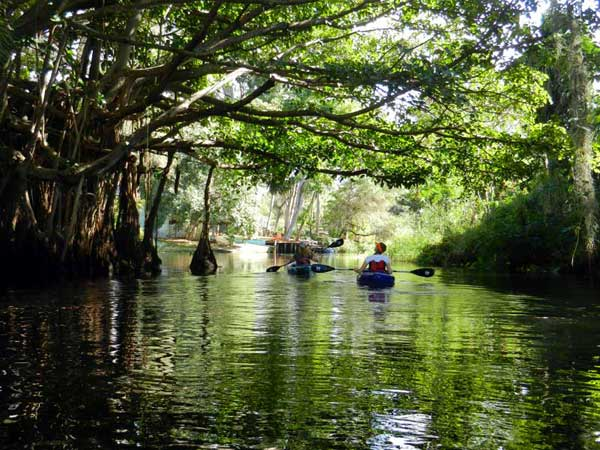anna erin ficus tree 400 Imperial River: Delightful kayak trail through old Bonita Springs