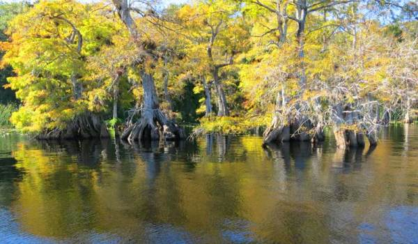 Fall colors on the cypress trees at Lake Norris near Orlando.