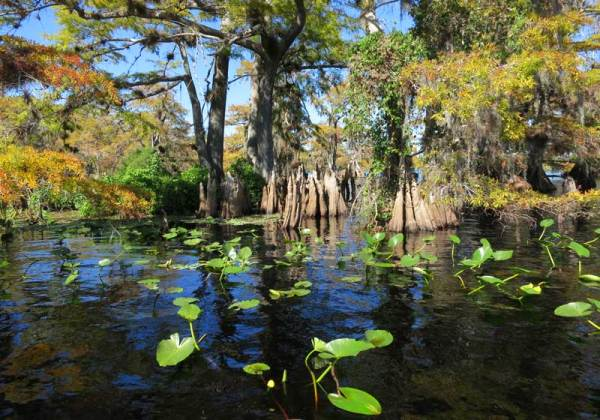 Cypress trees in Lake Norris near Orlando.