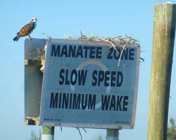 Nearly every manatee-zone sign has an osprey nest inside the 10,000 Islands National Wildlife Refuge.
