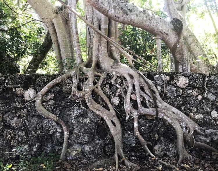 The stone wall around the Deering Estate is almost 100 years old and the strangler figs have become part of it. (Photo: Bonnie Gross)