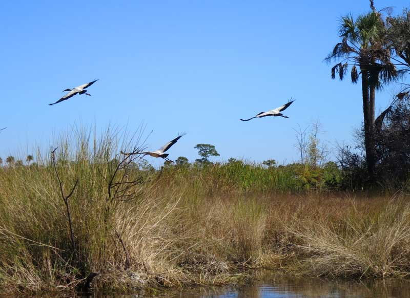 Three wood storks on the Turner River Kayak Trail in Big Cypress National Wildlife Refuge. Storks are more commonly seen these days; they've been reclassified as threatened vs. endangered species.