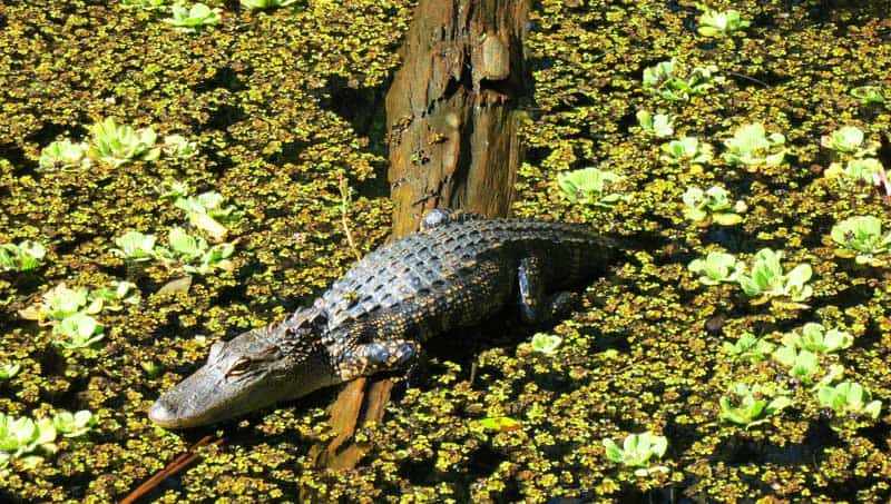 Young gators were plentiful in February at Corkscrew Bird Rookery Swamp Trail.