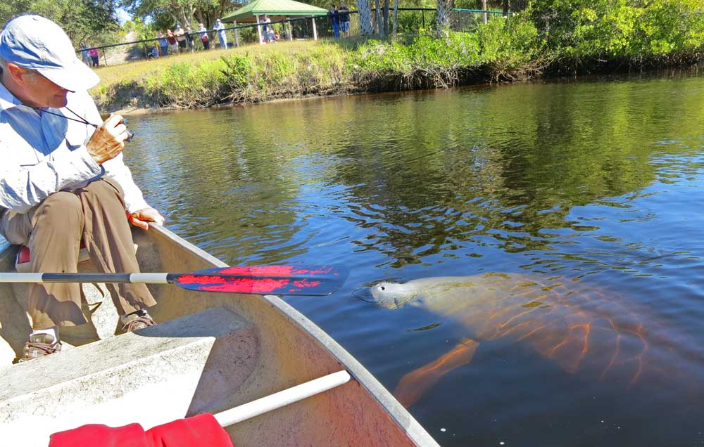 Curious manatee at Manatee Park, Fort Myers, on the Orange River.