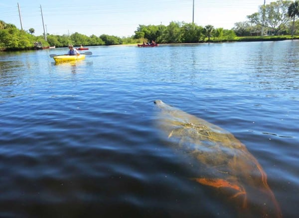 In the Orange River near the FPL plant, kayakers can paddle admist dozens of manatees on cold winter days., launching at Fort Myers Manatee Park.