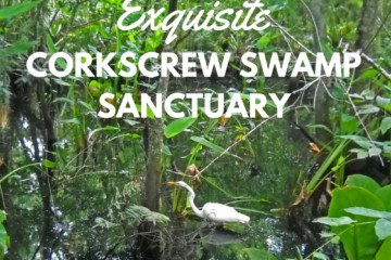 CORKSCREW SWAMP SANCTUARY Corkscrew Swamp in Naples: Explore via beautiful boardwalk
