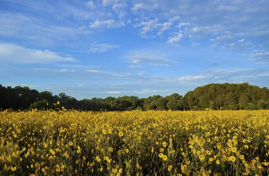 Sunflowers at Pepper Ranch in 2013. Photo by Christina Skibicki.