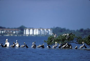 brown and white pelicans Pelican Isl George Gentry FWS Flock to a wonderland of birds on tiny Pelican Island