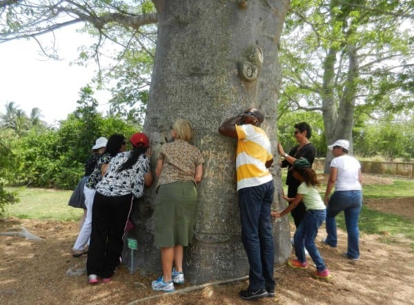 The baobab tree at Fruit and Spice Park is hollow inside so visitors are urged to see what they can hear. The park is a highlight of visiting the Redlands Florida. (Photo: David Blasco)