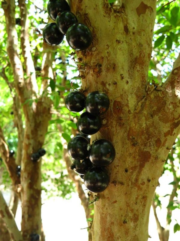 The Jabuticaba tree at Fruit and Spice Park in the Redland Florida was full of sweet fruit to sample.