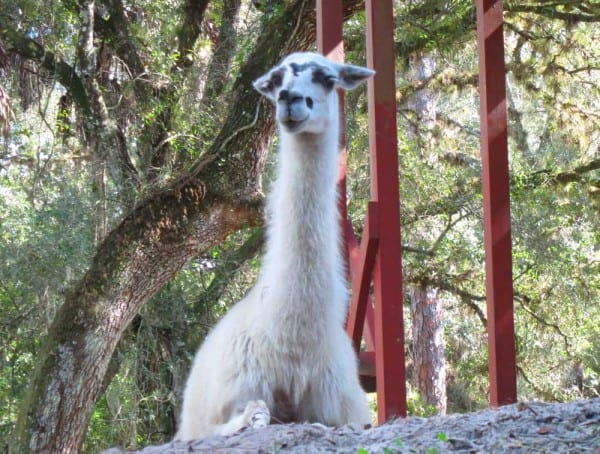 A llama at Telegraph Creek near Fort Myers, where you can kayak with llamas in Florida