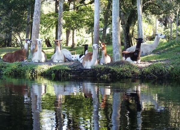 Llamas along Telegraph Creek kayak trail near Fort Myers. (Photo: Mike Hammond)