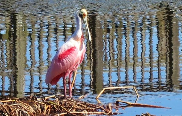 Roseate Spoonbill at Peaceful Waters Sanctuary, Wellington,