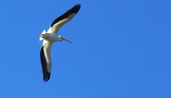 White pelican flyover at Peaceful Waters Sanctuary Wellington