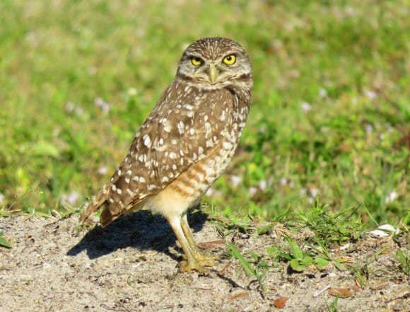 Florida birding trail: Burrowing owls at Brian Piccolo Park in Cooper City.