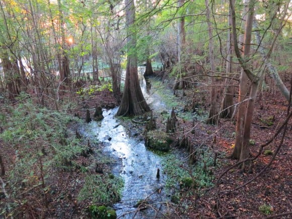 A small spring joins the main spring at Fanning Springs State Park on the Suwanee River. (