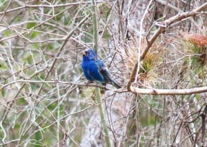 Indigo bunting at Crowley Museum & Nature Center.