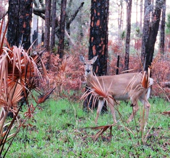 Deer along a trail at Lake Kissimmee State Park. (Photo: David Blasco)
