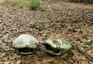 Gopher tortoise shells in the woods along Tiger Creek.