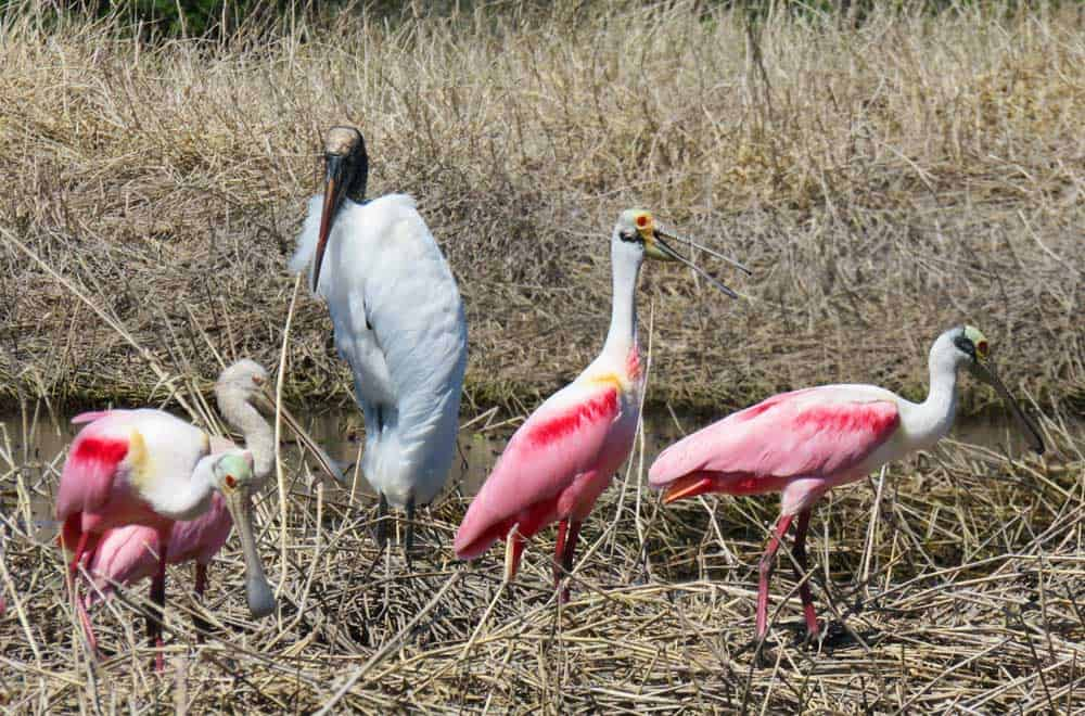 A wood storm joins the roseate spoonbills at Myakka River State Park.