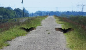 "These vultures ""greeted us"" along the levee bike trail between Lox Road and Atlantic Boulevard. (Photo: Bonnie Gross)"