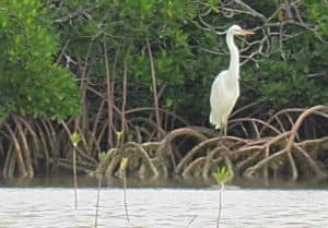 A rare great white heron in the waters near Sugarloaf Key. (Photo: David Blasco)