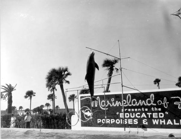 Dolphin in mid-air at Marineland of Florida - Marineland, Florida. 1964. State Archives of Florida, Florida Memory.