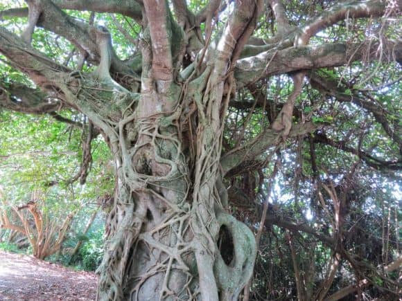 Stranger fig tree at Hugh Taylor Birch State Park in Fort Lauderdale