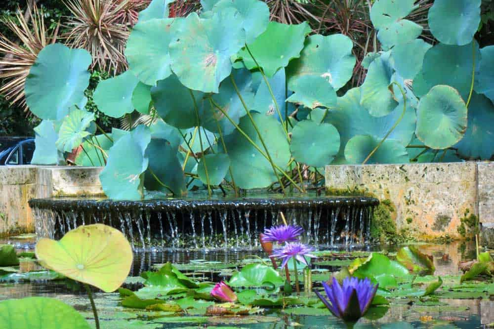 Lily pond and waterfall at the Kampong in Coconut Grove. (Photo: David Blasco)