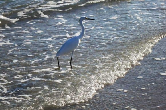 Great egret at Stump Pass Beach State Park, Englewood.