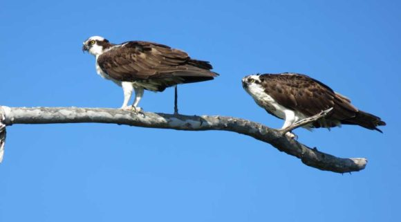 A pair of ospreys at Stump Pass Beach State Park in Englewood, located on one of the beautiful Florida barrier islands.