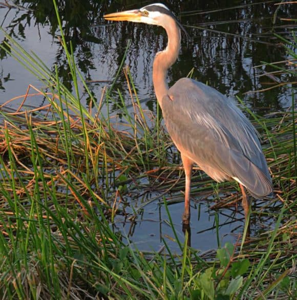 Great blue heron along the Anhinga Trail at sunset in Everglades National Park. (Photo: Bonnie Gross)